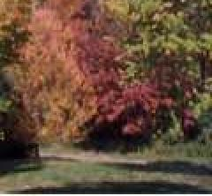 A tree in autumn; Size=240 pixels wide