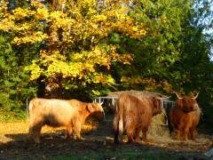 cattlefeasting.jpg