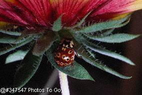 Eyed ladybird on daisy